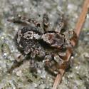 jumping spider - Naphrys pulex - female