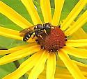 Ectemnius maculosus - female