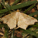Moth? - Macaria