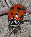 Convergent Ladybird Beetle - Hippodamia convergens