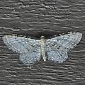 Eupithecia sp. maybe - Eupithecia cretaceata
