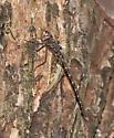 Taper-tailed Darner - Gomphaeschna