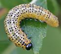 Sawfly Larva? - Arge