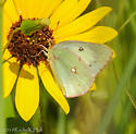 Trying to Identify Southern Dogface continued - Colias philodice