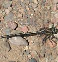 Greenish-striped Dragonfly - Gomphus