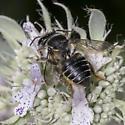 Megachile relativa or centuncularis ? - Megachile mendica - female