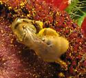 Bee - Lasioglossum pilosum - female