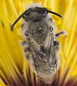 bee - Ancylandrena atoposoma