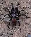 Black Spider - Antrodiaetus