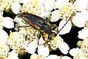 Longhorn Beetle - Brachyleptura champlaini