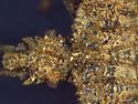 Aradidae, integument - Aradus crenatus
