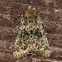 Moth - Pseudobryomima muscosa
