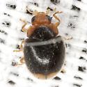 Lady Beetle - Diomus terminatus