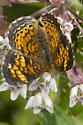 crescent      Pyciodes.cocyta - Phyciodes tharos - female