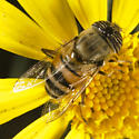 A most bee-like Fly - Eristalinus taeniops