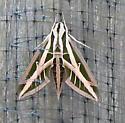 Unidentified moth - Eumorpha fasciatus