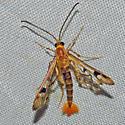 Maple Callus Borer - Hodges#2554 - Synanthedon acerni
