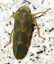 Coppery Leafhopper - Jikradia olitoria