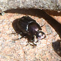 Little black scarabs in oak leaf litter