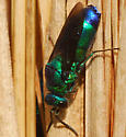 fly or bee - Chrysis angolensis
