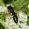 Wasp - Stictia carolina - male