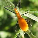 Zelus Longipes?  - Zelus longipes