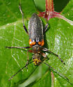 unknown beetle - Cortodera cubitalis