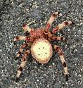 Vca spider - Araneus trifolium - female