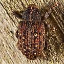 Weevil  - Apteromechus ferratus