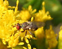 Fly [Conopidae?] ID Request - Thecophora