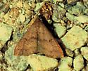 Renia adspergillus - Speckled Renia Moth - Hodges#8386