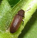 Brown beetle - Hemicoelus