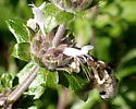 Might this be Lordotus sp? - Bombylius