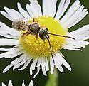 Longhorn Bee on Daisy Fleabane - Halictus confusus - male