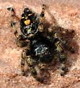 Jumping spider on sandstone ledge - Phidippus audax