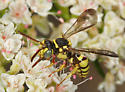 Bee at flowers - Nomada