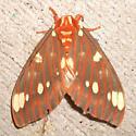 Regal Moth - Hodges#7706 - Citheronia regalis