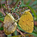 Sleepy Orange in Copula - Abaeis nicippe - male - female