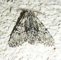 Moth #08-96 - Raphia frater - male
