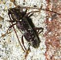 Anelaphus niveivestitus