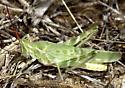 Green Fool Grasshopper - Acrolophitus hirtipes