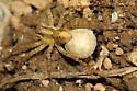 spider with egg sac - Pardosa - female