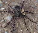 Pisauridae: Dolomedes tenerosus? - Dolomedes tenebrosus