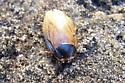 What kind of Beetle? - Pycnoscelus surinamensis