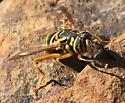 Unknown bee/fly - Spilomyia longicornis
