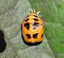 Ladybug pupa - Harmonia axyridis
