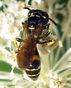 Beewolf - Philanthus bilunatus