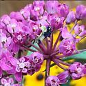 Unknown (perhaps mantis) species on a milkweed plant - Phymata