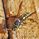 Wasp - Leucospis affinis - female