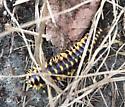 black and yellow caterpillar - Sigmoria trimaculata